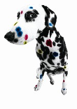 Small_dalmation_color_right